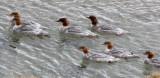 BIRD - GOOSANDER -  KEKEXILI NATIONAL RESERVE - QINGHAI PROVINCE - WEST OF QUMALAI (11).JPG