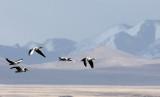 BIRD - GOOSE - BAR-HEADED GOOSE - DONG GEI CUO NA LAKE QINGHAI CHINA (10).JPG