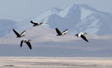 BIRD - GOOSE - BAR-HEADED GOOSE - DONG GEI CUO NA LAKE QINGHAI CHINA (11).JPG
