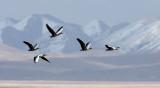 BIRD - GOOSE - BAR-HEADED GOOSE - DONG GEI CUO NA LAKE QINGHAI CHINA (12).JPG