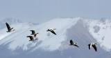 BIRD - GOOSE - BAR-HEADED GOOSE - DONG GEI CUO NA LAKE QINGHAI CHINA (17).JPG