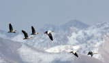 BIRD - GOOSE - BAR-HEADED GOOSE - DONG GEI CUO NA LAKE QINGHAI CHINA (19).JPG