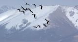 BIRD - GOOSE - BAR-HEADED GOOSE - DONG GEI CUO NA LAKE QINGHAI CHINA (34).JPG