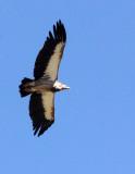 BIRD - GRIFFON - HIMALAYAN GRIFFON - FOOTHILLS NEAR XINGHAI, QINGHAI CHINA (6).JPG