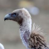 BIRD - GRIFFON - HIMALAYAN GRIFFON - ROAD FROM CHAKA TO QINGHAI LAKE CHINA (12).JPG