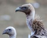 BIRD - GRIFFON - HIMALAYAN GRIFFON - ROAD FROM CHAKA TO QINGHAI LAKE CHINA (13).JPG