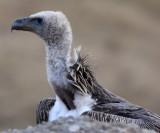 BIRD - GRIFFON - HIMALAYAN GRIFFON - ROAD FROM CHAKA TO QINGHAI LAKE CHINA (20).JPG