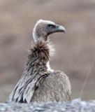 BIRD - GRIFFON - HIMALAYAN GRIFFON - ROAD FROM CHAKA TO QINGHAI LAKE CHINA (7).JPG