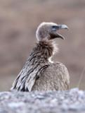 BIRD - GRIFFON - HIMALAYAN GRIFFON - ROAD FROM CHAKA TO QINGHAI LAKE CHINA (9).JPG