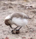 BIRD - HUME'S GROUNDPECKER - WENQUAN TOWN - NEAR JIANG LU LING PASS - QINGHAI CHINA (24).JPG
