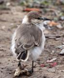 BIRD - HUME'S GROUNDPECKER - WENQUAN TOWN - NEAR JIANG LU LING PASS - QINGHAI CHINA (27).JPG
