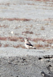 BIRD - JAY - MONGOLIAN GROUND JAY - GOBI-TYPE DESERT BETWEEN GOLMUD AND DULAN (2).JPG