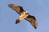 BIRD - LAMMERGEIER - YENIUGOU WILD YAK VALLEY - QINGHAI CHINA (4).JPG