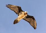 BIRD - LAMMERGEIER - YENIUGOU WILD YAK VALLEY - QINGHAI CHINA (5).JPG