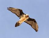 BIRD - LAMMERGEIER - YENIUGOU WILD YAK VALLEY - QINGHAI CHINA (9).JPG