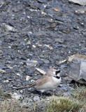 BIRD - LARK - HORNED SKYLARK - JIANG LU LING PASS - QINGHAI CHINA (11).JPG
