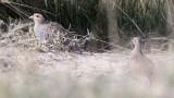 BIRD - PARTRIDGE - Daurian Partridge (Perdix dauurica) - CHAKA LAKE QINGHAI CHINA (1).JPG
