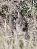BIRD - PARTRIDGE - Daurian Partridge (Perdix dauurica) - CHAKA LAKE QINGHAI CHINA (3).JPG