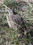 BIRD - PARTRIDGE - Daurian Partridge (Perdix dauurica) - CHAKA LAKE QINGHAI CHINA (7).JPG