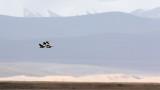 BIRD - SHELDUCK - RUDDLY SHELDUCK - KEKEXILI NATIONAL RESERVE - QINGHAI PROVINCE - CORE AREA (1).JPG