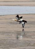BIRD - SHELDUCK - RUDDY SHELDUCK -  KU HAI LAKE QINGHAI CHINA (6).JPG