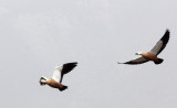 BIRD - SHELDUCK - RUDDY SHELDUCK - 100 KM WEST OF XINING, QINGHAI PROVINCE CHINA (3).JPG