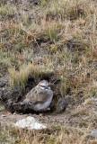 BIRD - SNOWFINCH - RUFOUS-BACKED SNOWFINCH - JIANG LU LING PASS - QINGHAI CHINA (1).JPG