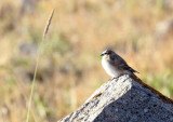 BIRD - SNOWFINCH - RUFOUS-NECKED SNOWFINCH - PYRGILAUDA RUFICOLLIS - XINGHAI CANYON AREA QINGHAI CHINA (5).JPG