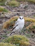 BIRD - SNOWFINCH -White-rumped Snowfinch (Pyrgilauda taczanowskii) - 100 KM WEST OF XINING, QINGHAI CHINA (17).JPG