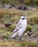 BIRD - SNOWFINCH -White-rumped Snowfinch (Pyrgilauda taczanowskii) - 100 KM WEST OF XINING, QINGHAI CHINA (18).JPG