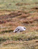 BIRD - SNOWFINCH -White-rumped Snowfinch (Pyrgilauda taczanowskii) - 100 KM WEST OF XINING, QINGHAI CHINA (2).JPG