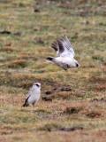 BIRD - SNOWFINCH -White-rumped Snowfinch (Pyrgilauda taczanowskii) - 100 KM WEST OF XINING, QINGHAI CHINA (7).JPG