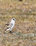 BIRD - SNOWFINCH -White-rumped Snowfinch (Pyrgilauda taczanowskii) - QINGHAI LAKE QINGHAI CHINA (18).JPG