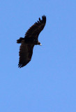 BIRD - VULTURE - CINEREOUS OR Black Vulture (Aegypius monachus) - FOOTHILLS NEAR XINGHAI CHINA (1).JPG