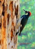 Woodpecker_0679