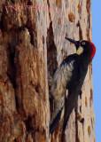 Woodpecker_0707
