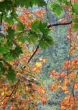 Fall Leaves_0613