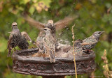 European Starlings.jpg