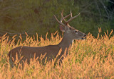 TX Whitetail buck.jpg