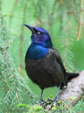 Common Grackle.jpg