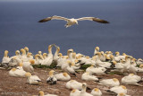 Gannets courting and nesting.jpg
