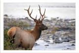 Jasper Elk drinking.jpg