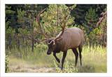 Elk in rut.jpg
