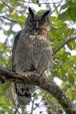 Dusky Eagle Owl male_ 700mm_f'6.7.jpg