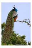 Indian Peafowl-500mm f4.5.jpg