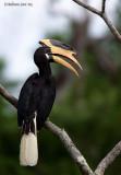 Malibar Pied Hornbill-700mm_f6.7.jpg