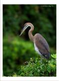 Purple Heron 700mm f:6.7 .jpg