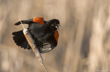 Redwing Blackbird.jpg