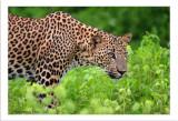 500 f'4 Sri Lankan Leopard.jpg