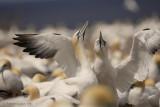 500mm f5.6 Northern Gannets